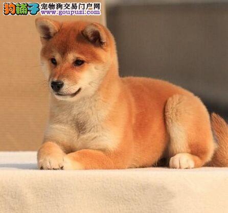 精品日本柴犬出售证书芯片齐全 签协议保证纯种健康