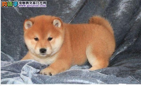 专业繁殖精品纯种日本柴犬幼犬 公母都有 可亲自挑选