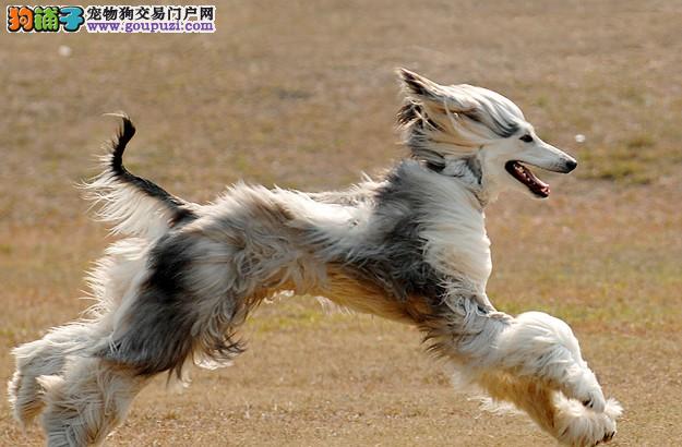 家养赛级阿富汗猎犬宝宝品质纯正签署各项质保合同