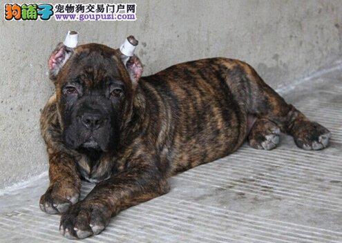 卡斯罗犬 卡斯罗护卫犬 卡斯罗配种 卡斯罗幼犬猎犬