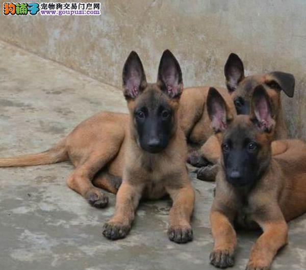 黑色骑士马犬幼犬出售看门护院忠诚威猛带血统证书