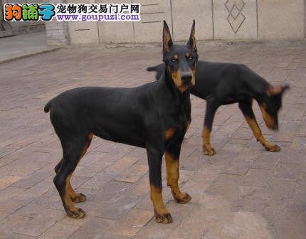 纯种德系杜宾犬 骨架大头版重色素深 2到3个月幼3
