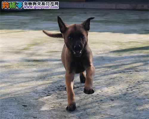 北京精品马犬 保纯种健康 体型好结构好 撕咬能力强