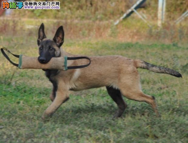 精品昆明犬幼犬一对一视频服务买着放心狗贩子请勿扰2