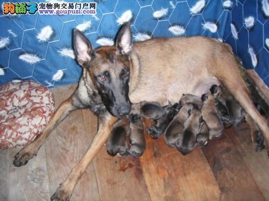 出售纯种警犬昆明犬 可上门挑选 纯种健康 终身质保