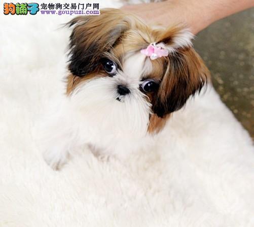 永州精品西施犬幼犬出售 聪明温顺高端宠物狗伴侣犬