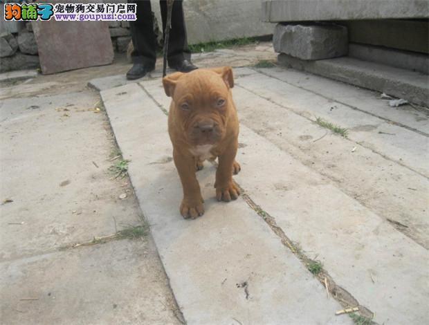 纯种比特犬出售 完美品相 品质第一 购买保障售后