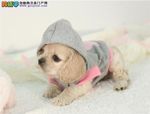 郑州养殖场直销完美品相的可卡微信选狗直接视频