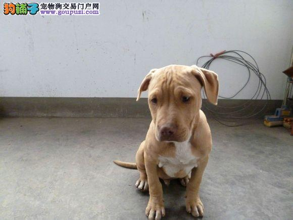 国际注册犬舍 出售极品赛级比特犬幼犬质保协议疫苗驱虫齐全