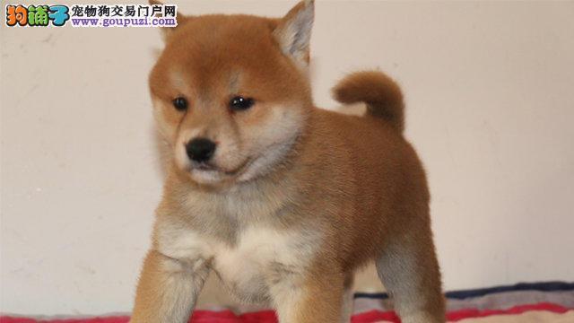 石家庄自家繁殖的纯种柴犬找主人支持全国空运发货