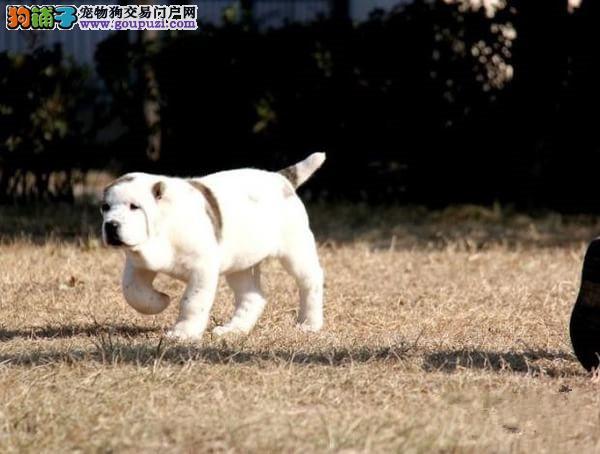 武汉繁殖基地出售多种颜色的中亚牧羊犬保终身送用品2