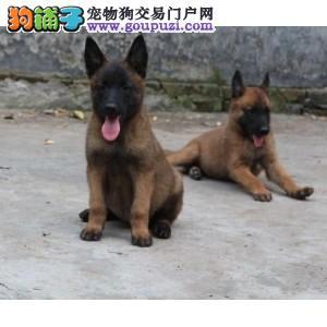 超级精品昆明犬,可办理血统证书,三年质保协议
