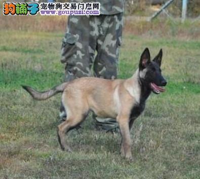 实物拍摄的合肥昆明犬找新主人全国质保全国送货