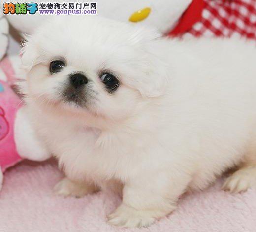 出售高品质顶级绝版稀少纯种老宫廷京巴犬纯白色
