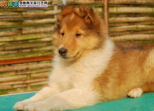 权威机构认证犬舍 专业培育喜乐蒂幼犬请您放心选购