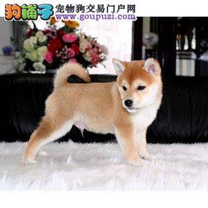 鹤壁市出售柴犬幼犬 包纯种健康 价格优惠 可上门选购