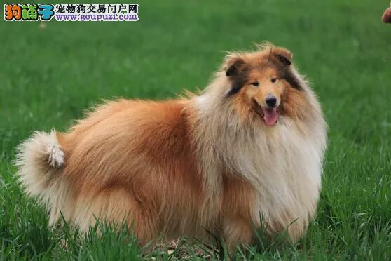 铜仁纯苏格兰牧羊犬幼犬毛色靓体型佳两色三色多只可选