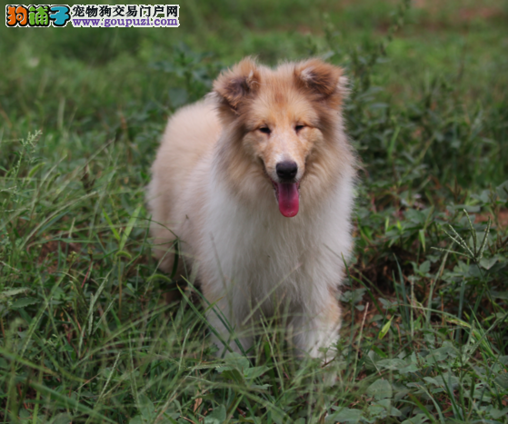 专家告诉你如何买到最出色的苏格兰牧羊犬