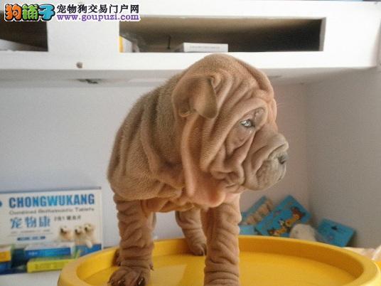 自家狗场繁殖沙皮犬出售中