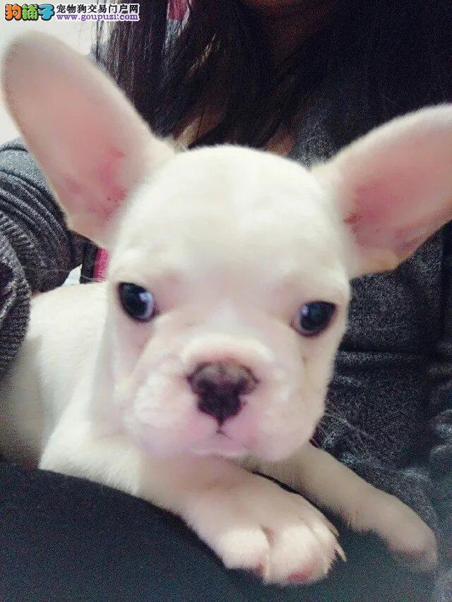 上海CKU认证犬舍出售高品质法国斗牛犬全国十佳犬舍