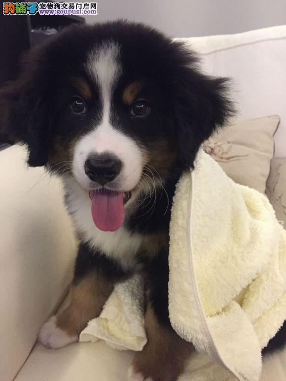 伯恩山幼犬出售中、保证血统纯度、签订活体协议