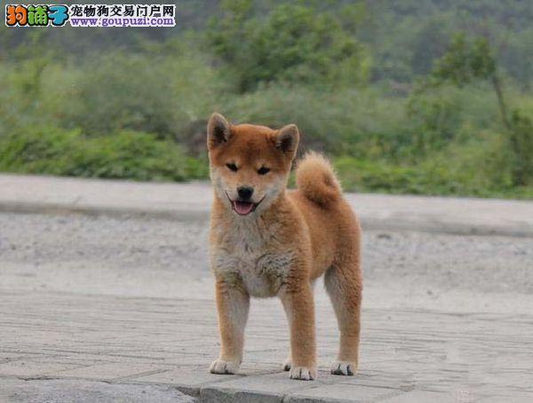 完美品相血统纯正重庆柴犬出售以品质惊世人