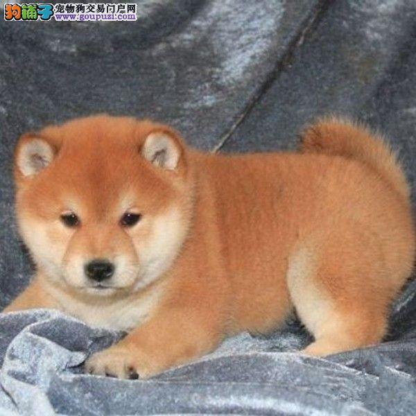 出售多种颜色纯种柴犬幼犬签订终身纯种健康协议