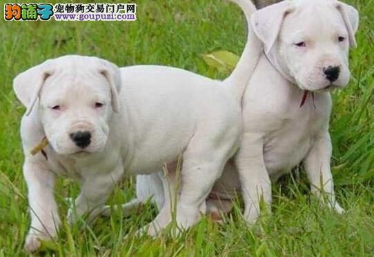家养赛级杜高犬宝宝品质纯正国外引进假一赔百1