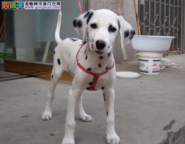 实物拍摄的沈阳斑点狗找新主人微信看狗真实照片包纯4