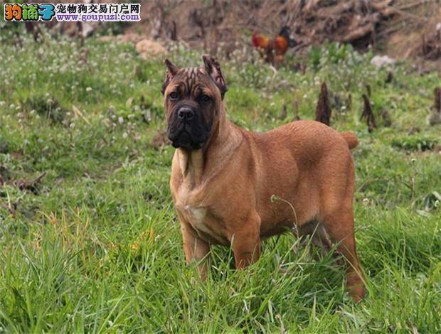 出售聪明伶俐卡斯罗犬品相极佳签订保障协议1