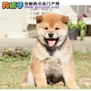 百分百健康纯种柴犬北京热卖中可直接视频挑选