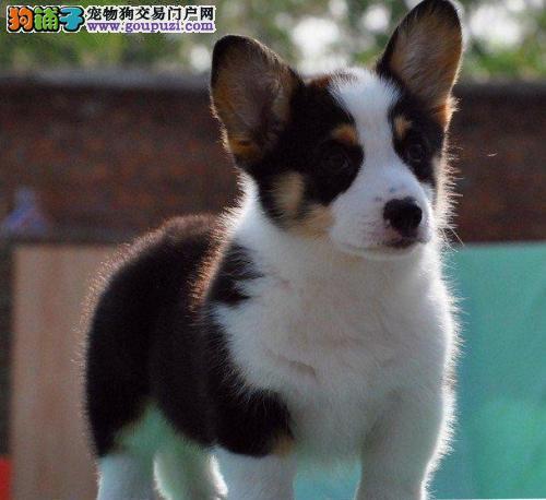 威尔士柯基犬品相好健康有保障 乌海出售 可签购犬协议
