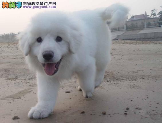西安售纯种大白熊 大白熊犬幼犬公母全有可挑选3