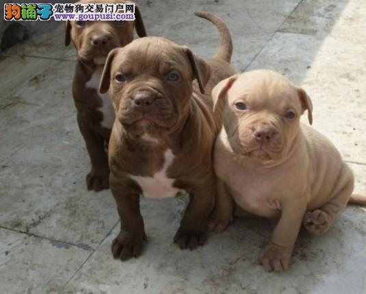 直销赛级比特犬、CKU认证血统纯正、签署合同质保