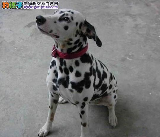 高品质斑点狗幼犬、真实照片保纯保质、质保全国送货