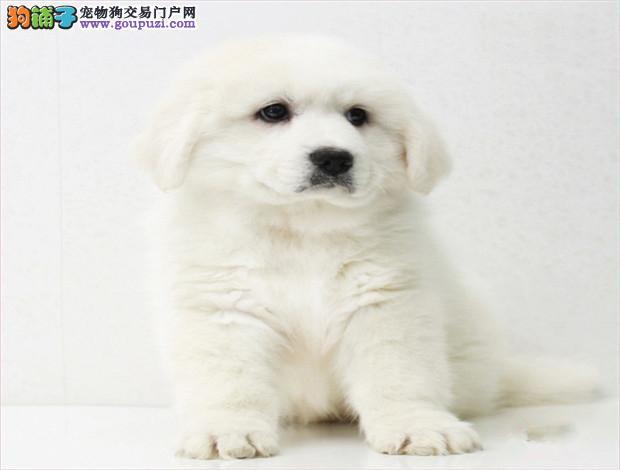 专业繁殖大白熊犬 品质优良 疫苗齐全 品质保证 签协议