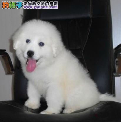 西安售纯种大白熊 大白熊犬幼犬公母全有可挑选4