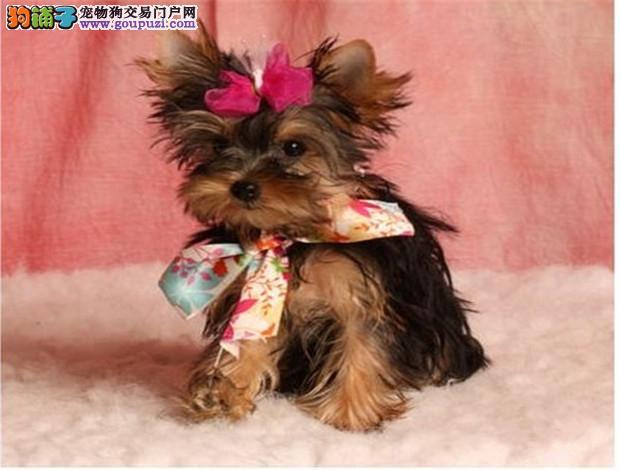 北京家养爱漂亮的公主犬 超小体约克夏金头银背可选