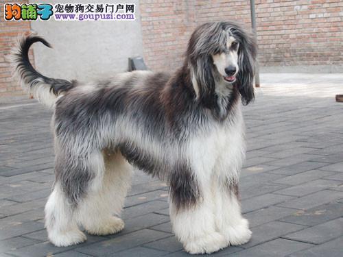 出售阿富汗猎犬公母都有品质一流带血统证书签活体协议3