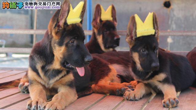 权威机构认证犬舍 专业培育狼狗幼犬品质血统售后均有保障