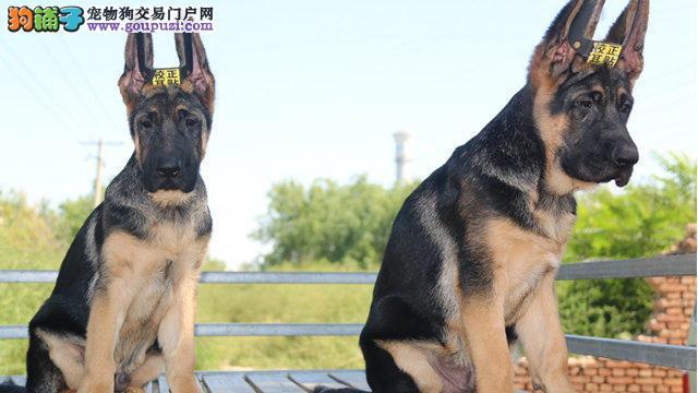 狼狗宝宝出售中、CKU认证绝对保障、讲诚信信誉好