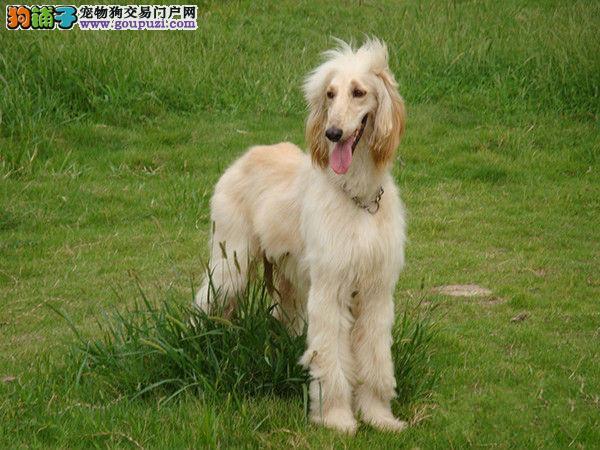出售阿富汗猎犬公母都有品质一流带血统证书签活体协议4