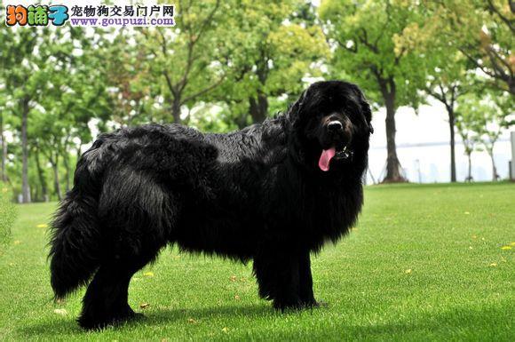 纽芬兰犬幼犬出售中 假一赔十质量保障 专业信誉服务