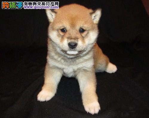 日本纯种柴犬 铁包金赤红色柴犬 多只可选营口基地直销