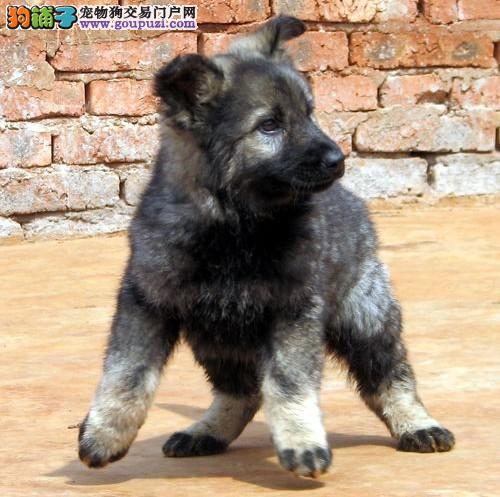 赛级犬幼犬出售 纯种健康 带证书芯片 签订协议