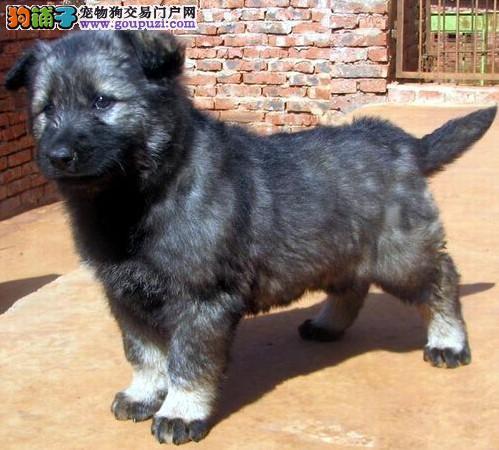 家养多只昆明犬宝宝出售中签协议上门选2