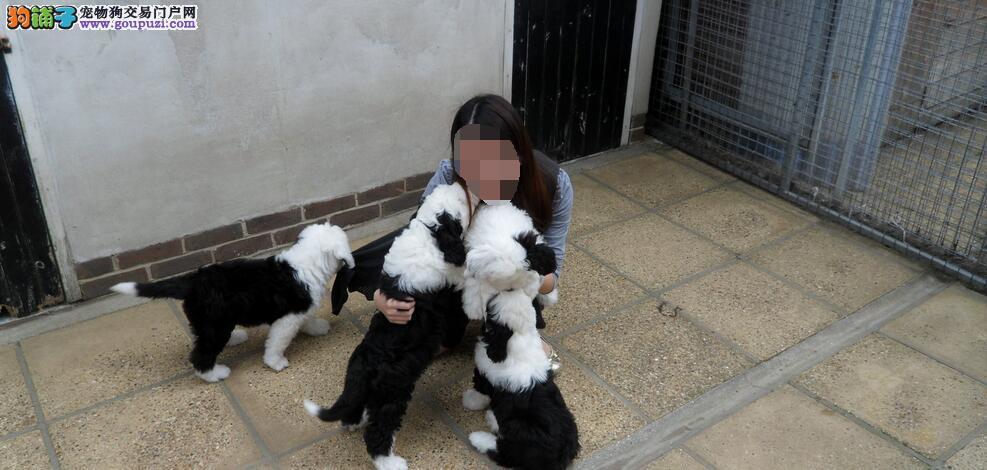 老式英国牧羊犬选狗技巧