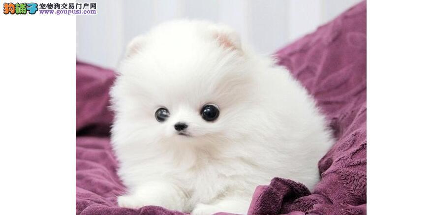 购买健康的博美幼犬 增添生活乐趣