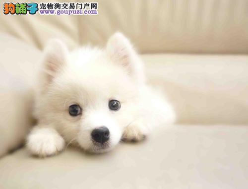 购买纯种银狐犬必须要掌握的小技巧
