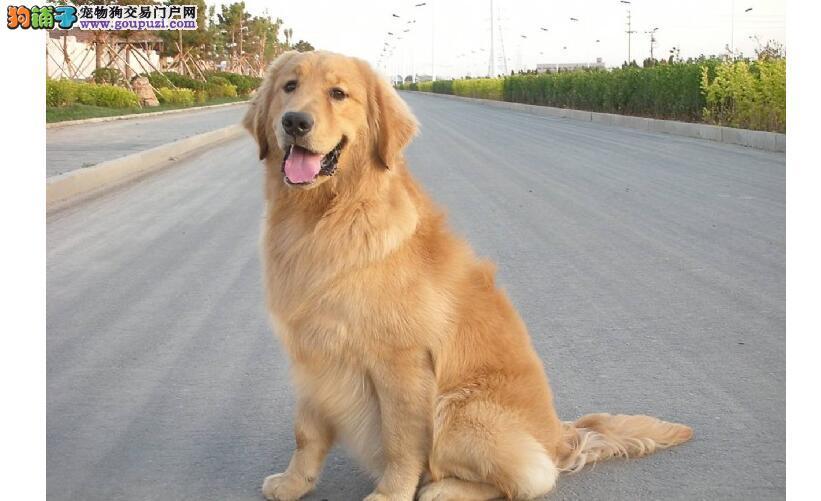 购买纯种优秀的金毛犬才会让饲养更加快乐